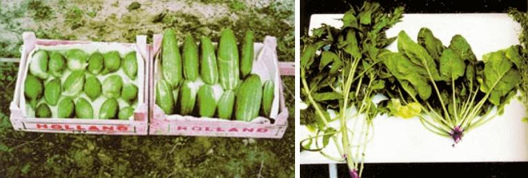 Kutatási eredmények az uborkánál és a spenónál