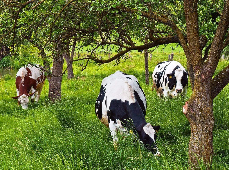 Fák között legelő tehenek - a marhák szarvát is használják a biodinamikus preparátumok készítéséhez