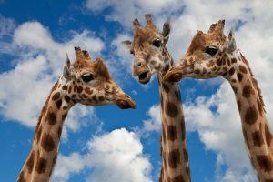 Erőszakmentes kommunikáció zsiráfok között