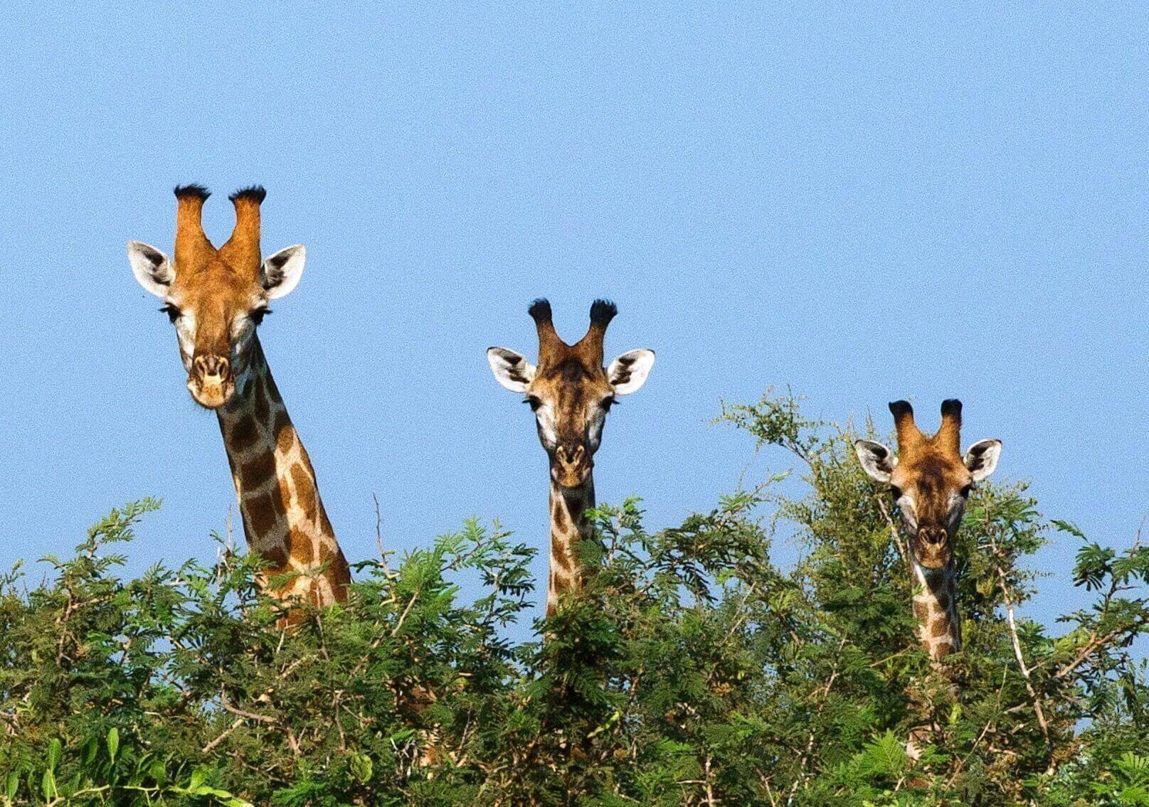 Bozótból kileső zsiráfok közötti kapcsolat